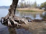 Old Tree at Lake: Stock Image