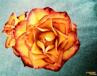 .rose 2011
