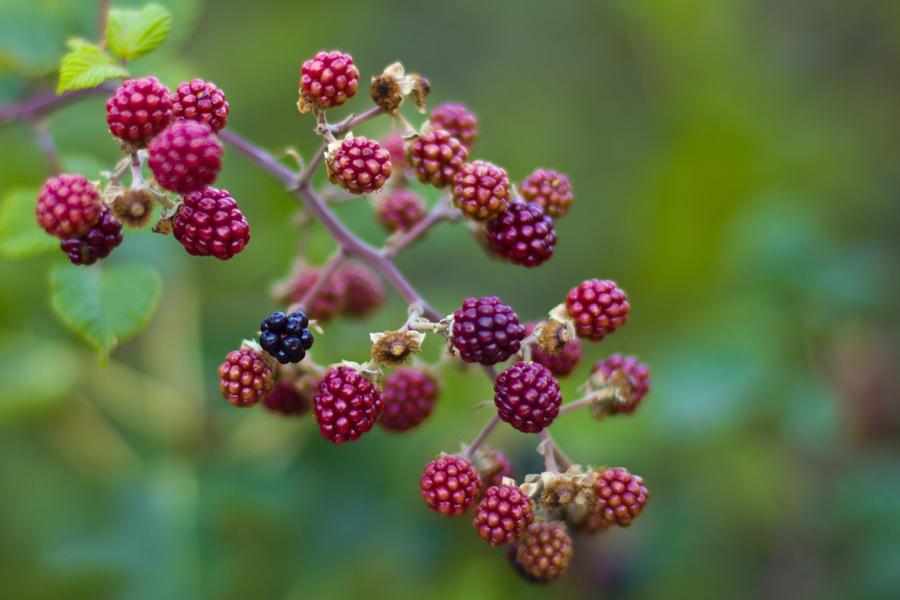 berries 2 by elspeth-66