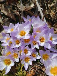 Crocus flowers by levrier