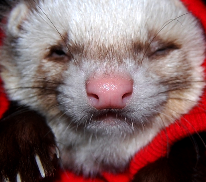 ferret face wallpaper background - photo #30
