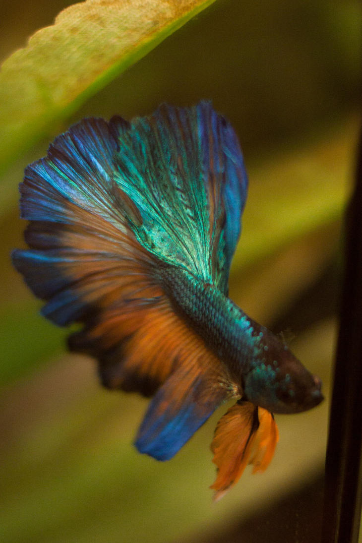 Gold and turquoise halfmoon by emeraldrosepetal on deviantart for Betta fish mirror