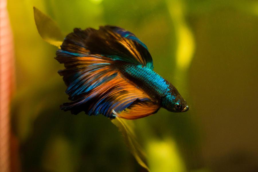 1000 images about beta fetish on pinterest betta betta for Prettiest betta fish