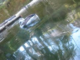 sleepy duck 2 by Sibtigerka-Goatgirl