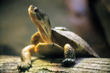 Adult western pond turtle by Sibtigerka-Goatgirl