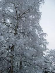 Winter Birch by Sibtigerka-Goatgirl