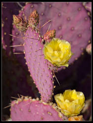 Cactus Flower2 by mymamiya