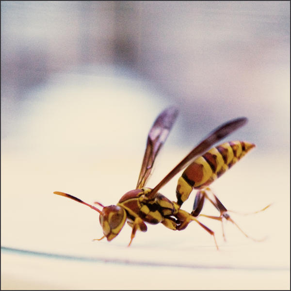 wasp by lilgreenbutton