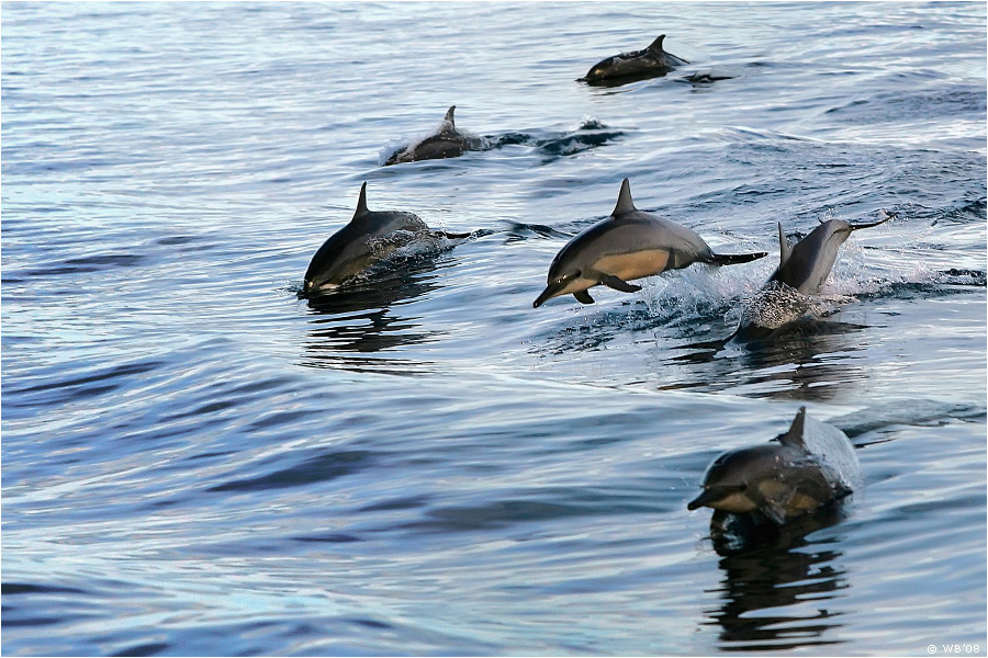 The game. Dolphins by Vitaly-Sokol