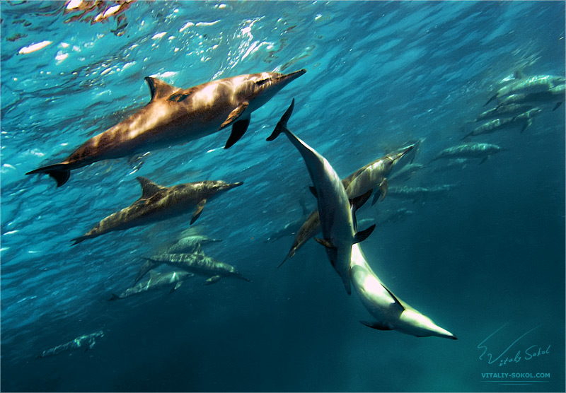 Exe dolphins by Vitaly-Sokol