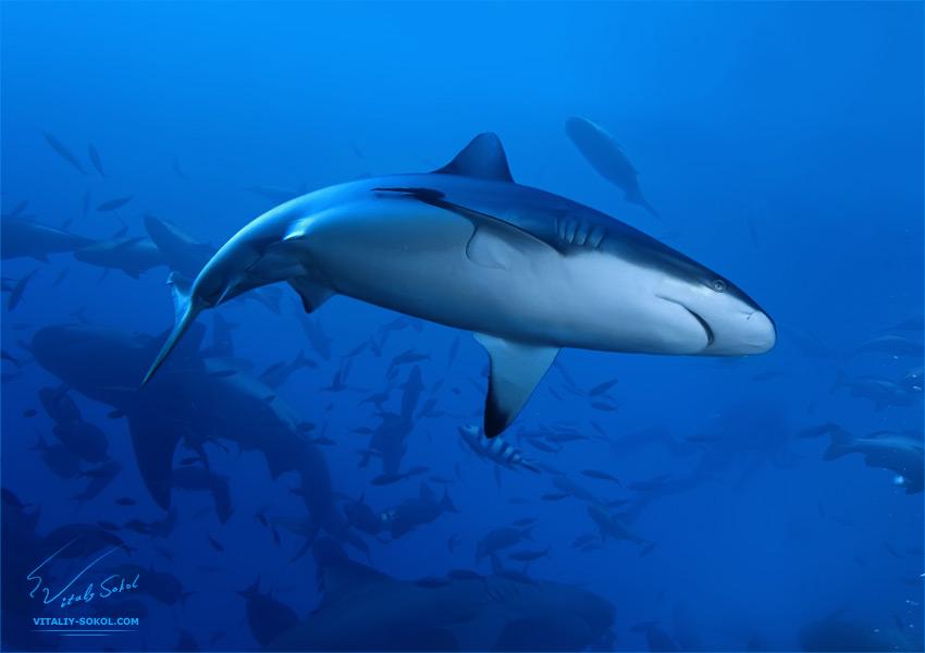 Grey Reef Shark by Vitaly-Sokol