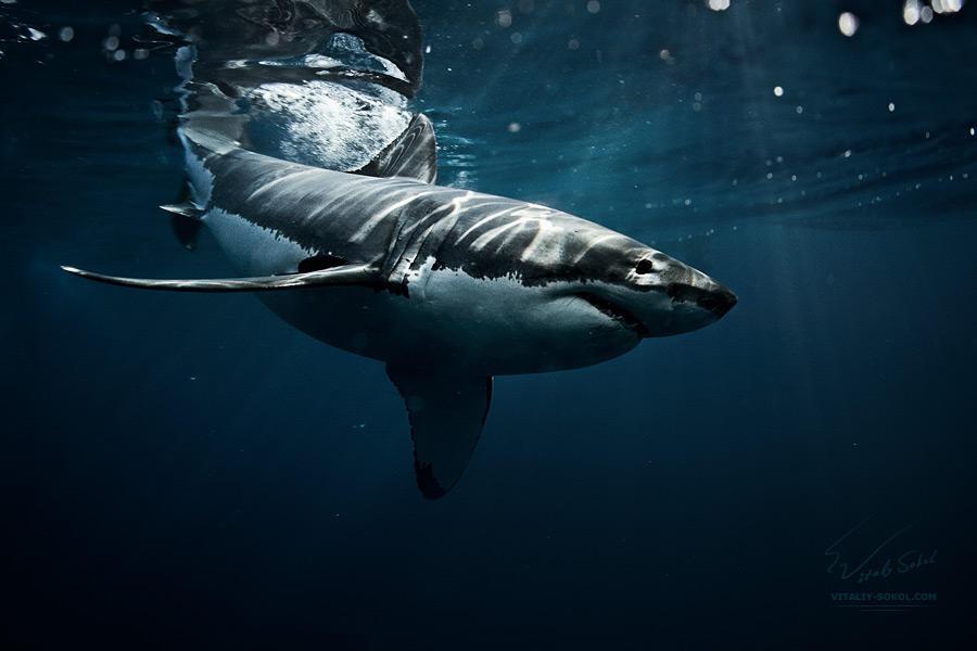 Great White Shark down