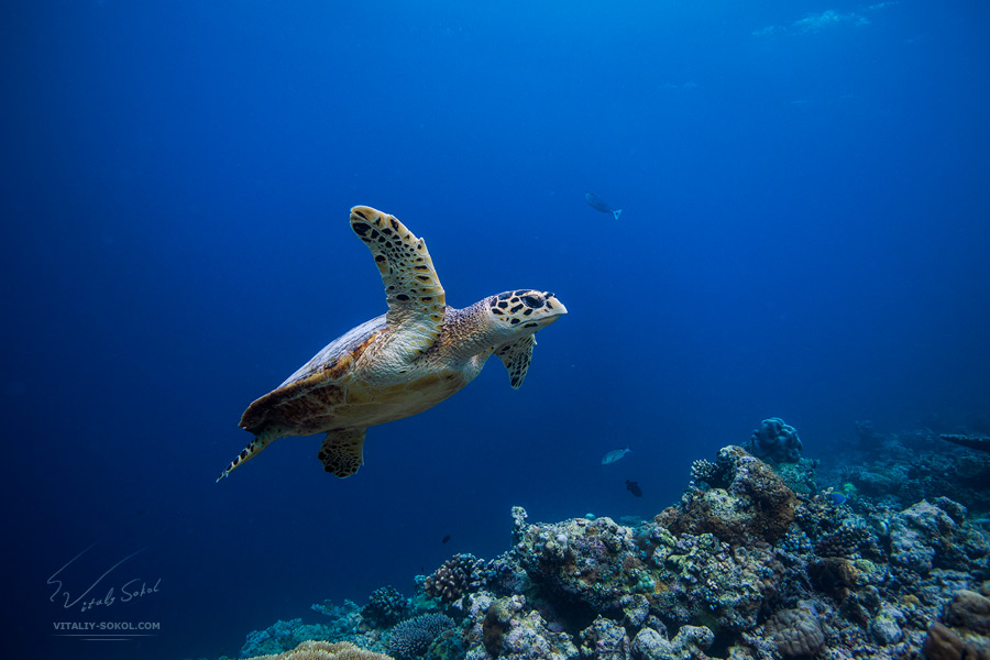 Maldivian Dreams. Loggerhead by Vitaly-Sokol