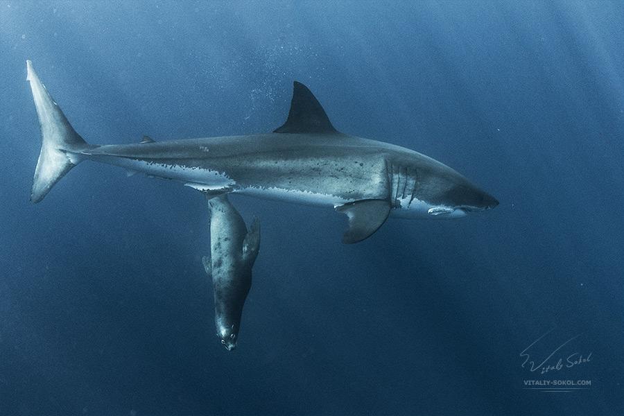 BraveHeart. A Seal and shark by Vitaly-Sokol