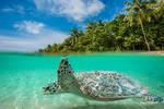 Maldivian Turle