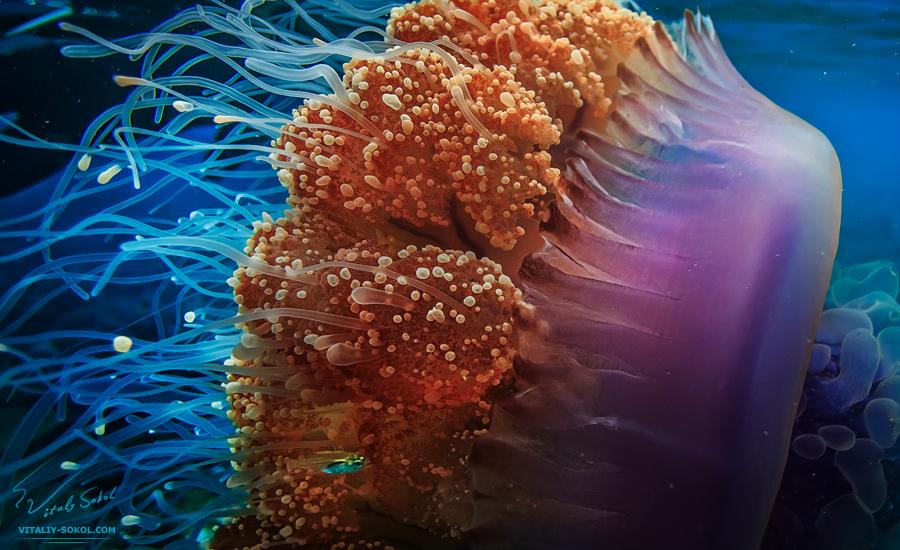 jellyfish-2N9A9723 by Vitaly-Sokol