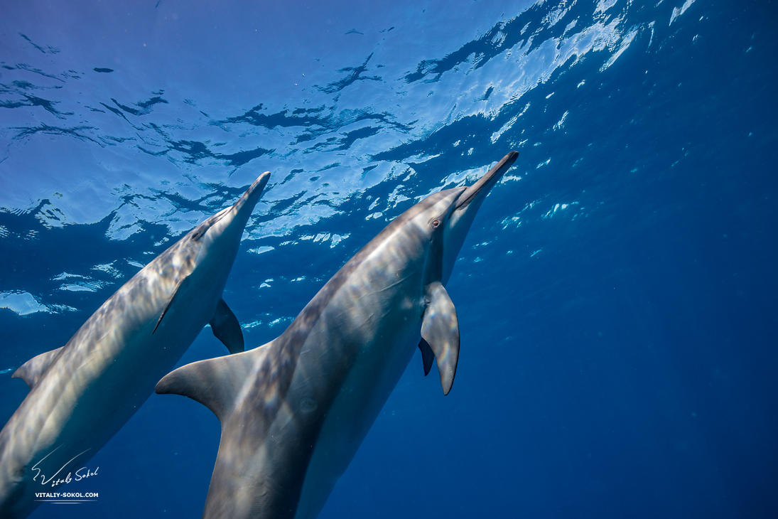 Spinner dolphins by Vitaly-Sokol