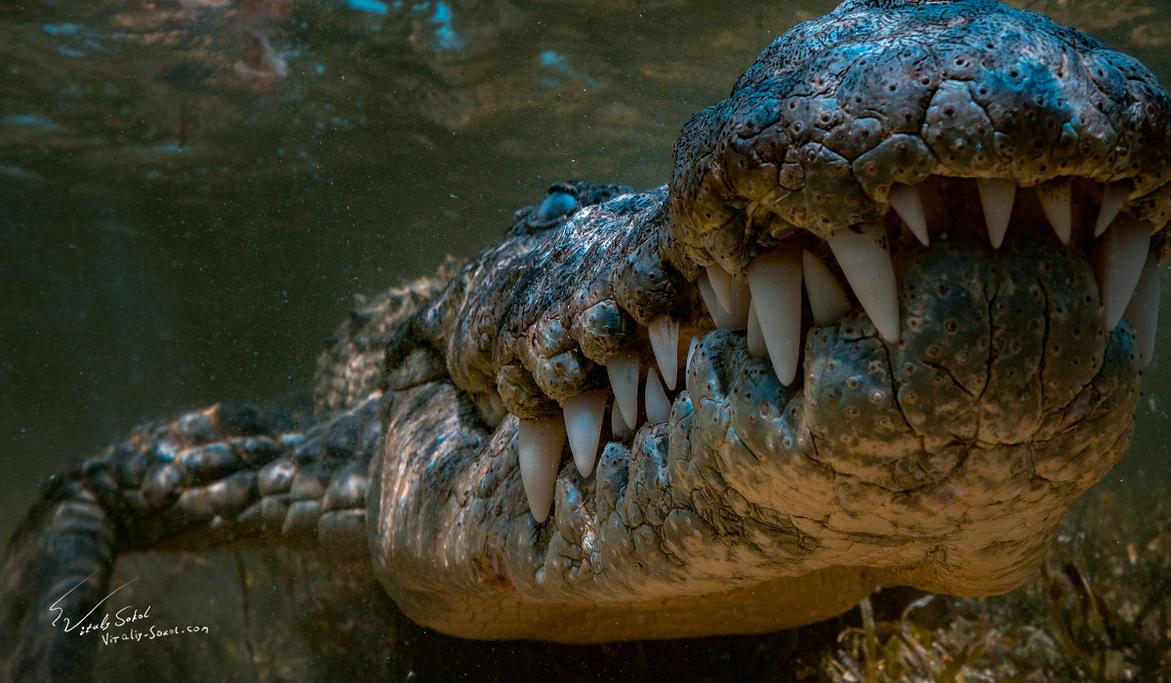 Jaws. Saltwater Crocodile by Vitaly-Sokol