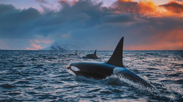 The Way of Orcas
