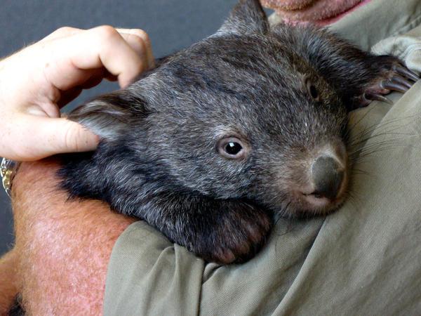 Wombat hug by PopcornMUCH