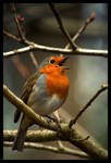 Robin looking for love by bennhardt