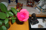a rose for buddha