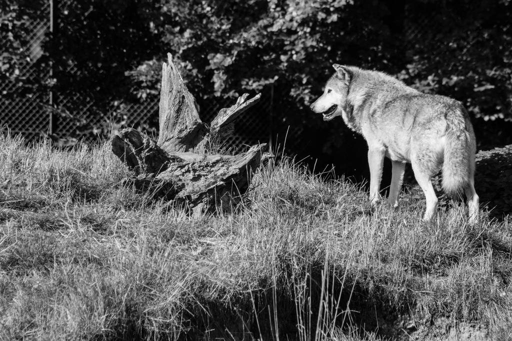 IMG_5952 - European Wolf by 0paperwings0