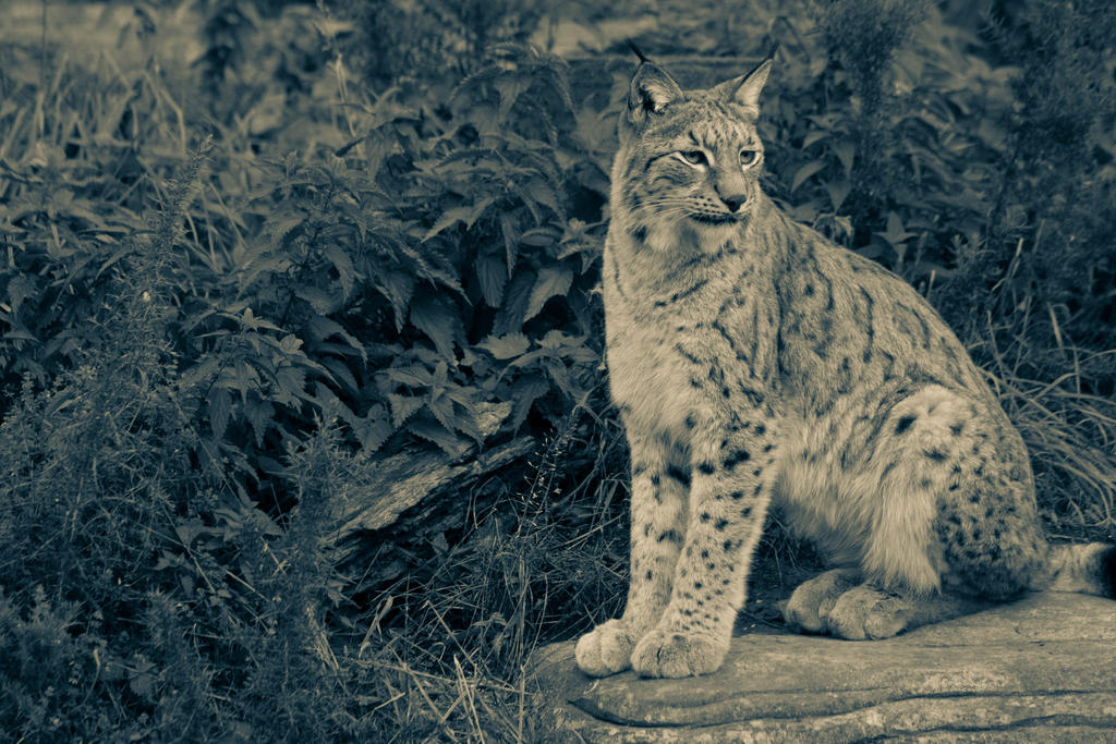 IMG_6243 - Eurasian Lynx by 0paperwings0