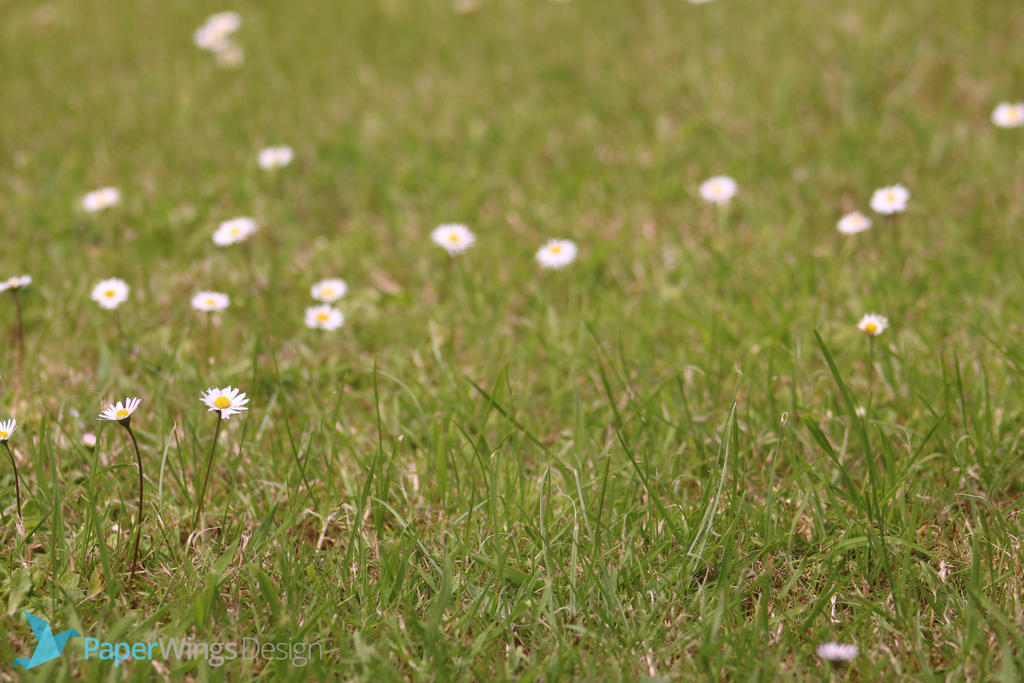 IMG_3153 - Daisies by 0paperwings0