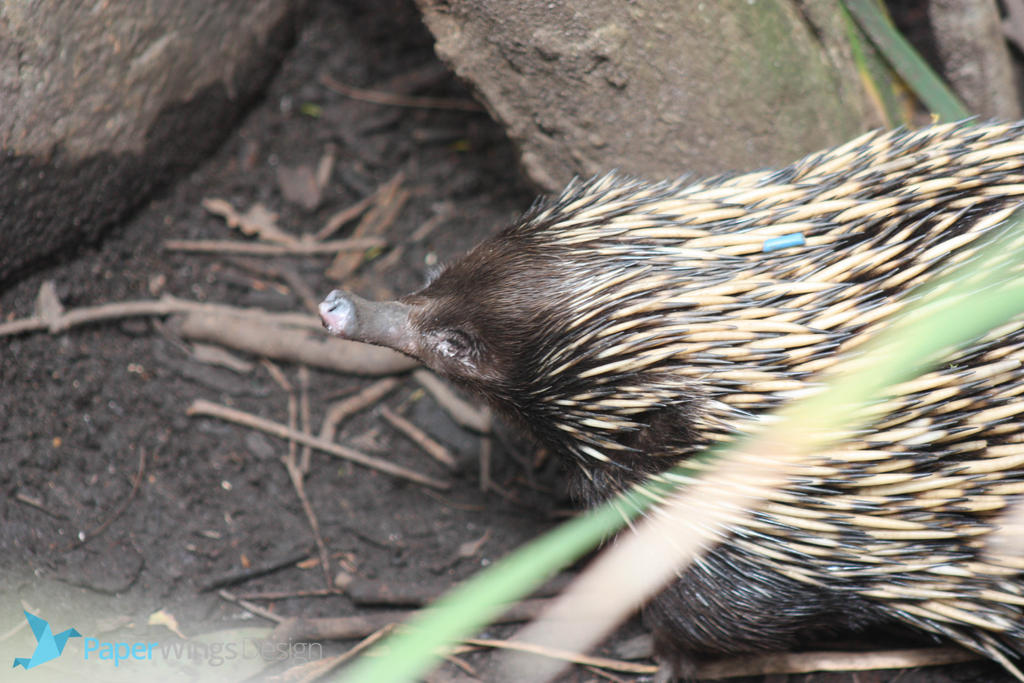 IMG_4891 - Echidna by 0paperwings0