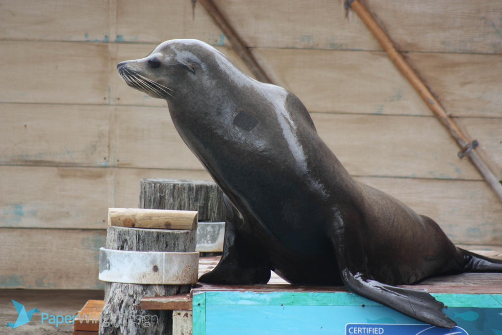 IMG_4864 - Sea Lion by 0paperwings0