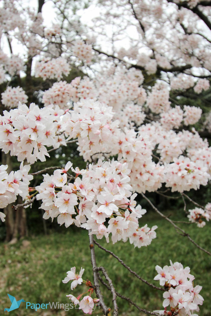 IMG_0241 - Cherry blossom by 0paperwings0