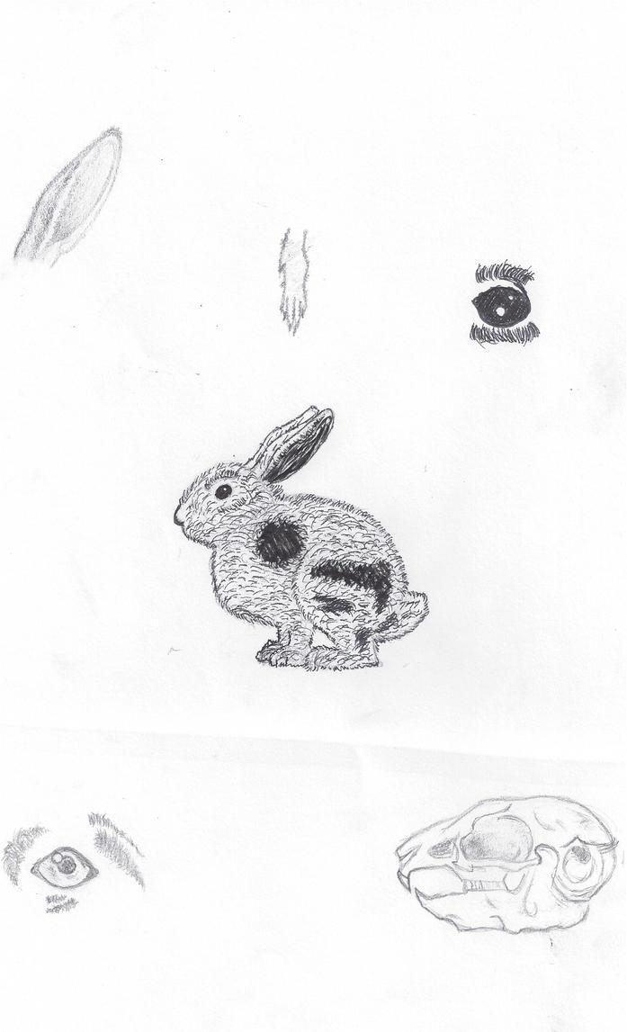 Rabbit Anatomy Study By Mackdoodle99 On Deviantart