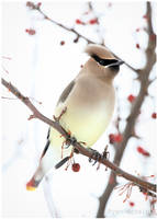 Winter Waxwing by Ryser915