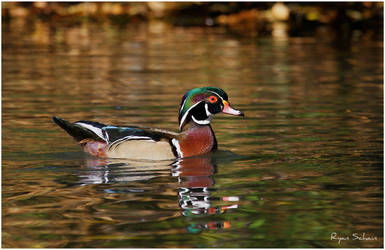 Wood Duck by Ryser915