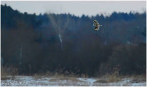 Short-eared Owl - After Sunset