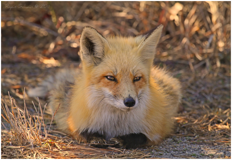 Red Fox by Ryser915
