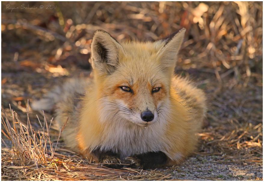 Red Fox by Ryser915