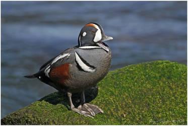 Harlequin Duck - Yawning by Ryser915