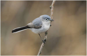 Blue-gray Gnatcatcher by Ryser915