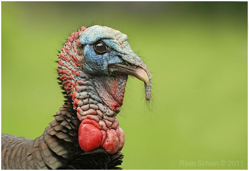 Wild Turkey by Ryser915