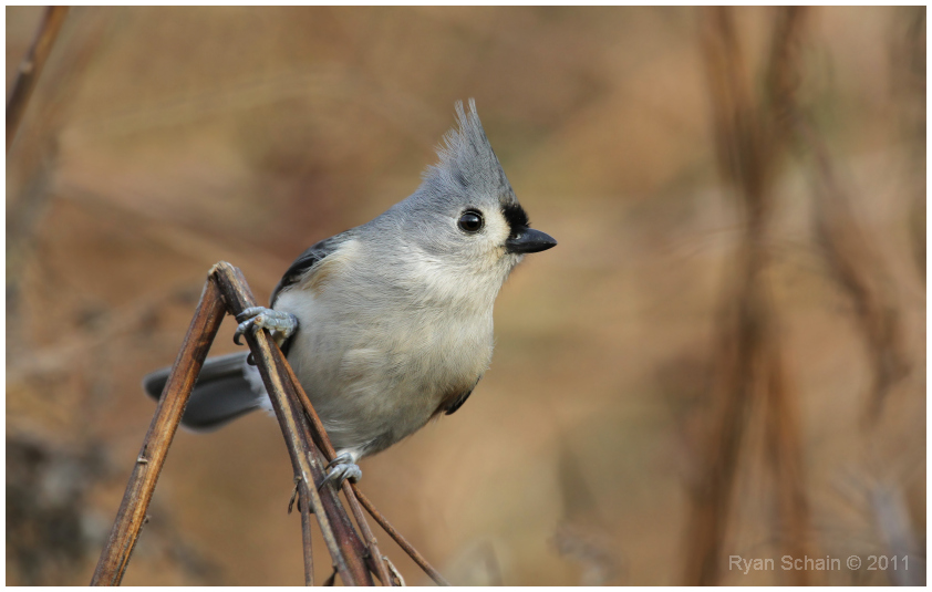 Tufted Titmouse in a Thicket by Ryser915