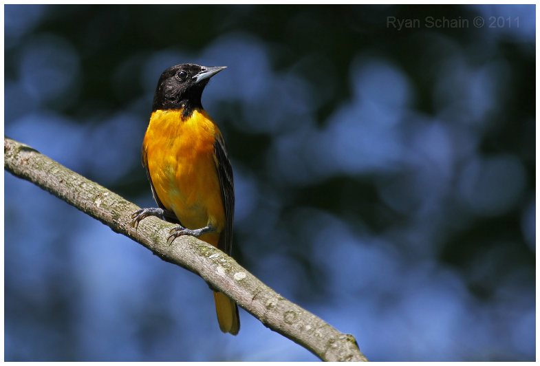 Baltimore Oriole by Ryser915