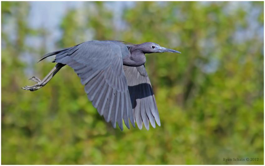 Little Blue Heron by Ryser915
