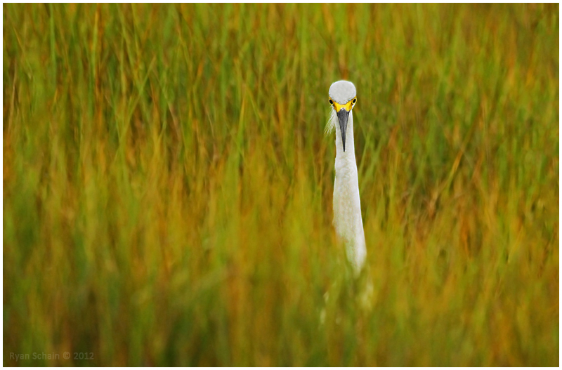 Snowy Egret by Ryser915