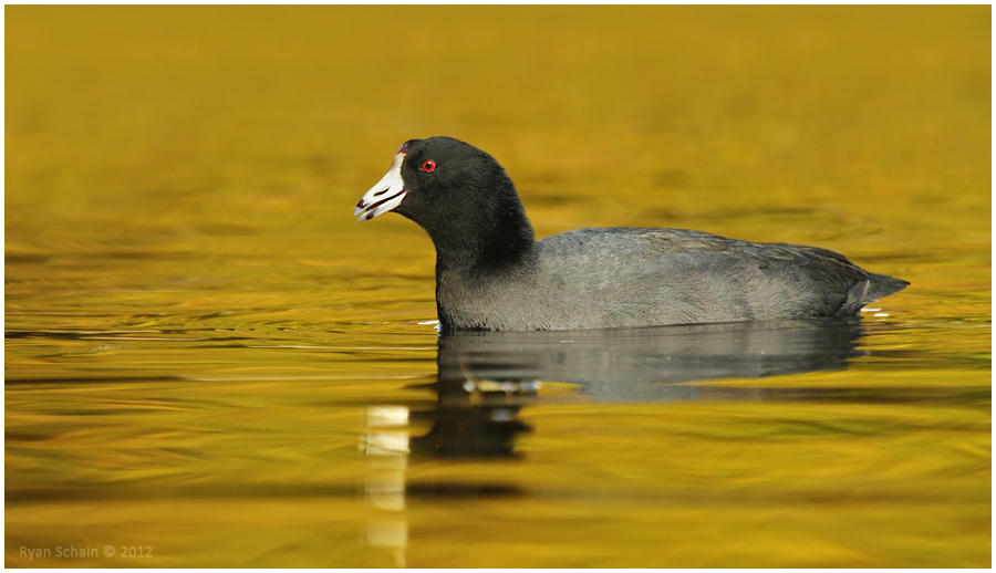 American Coot by Ryser915