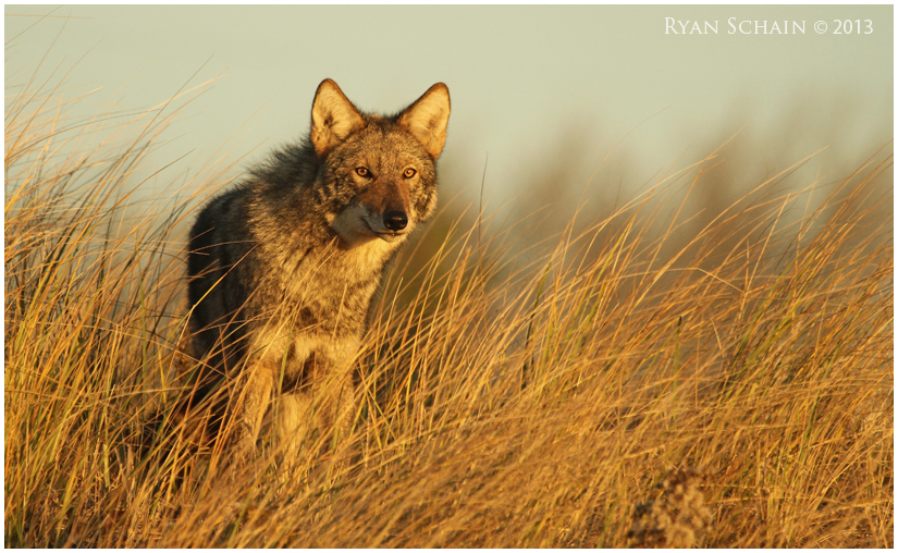 Eastern Coyote by Ryser915