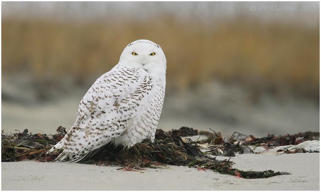 Snowy Owl by Ryser915
