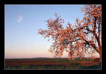 Almond in Bloom by psimau