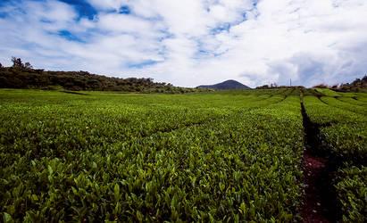 Jeju Tea Fields